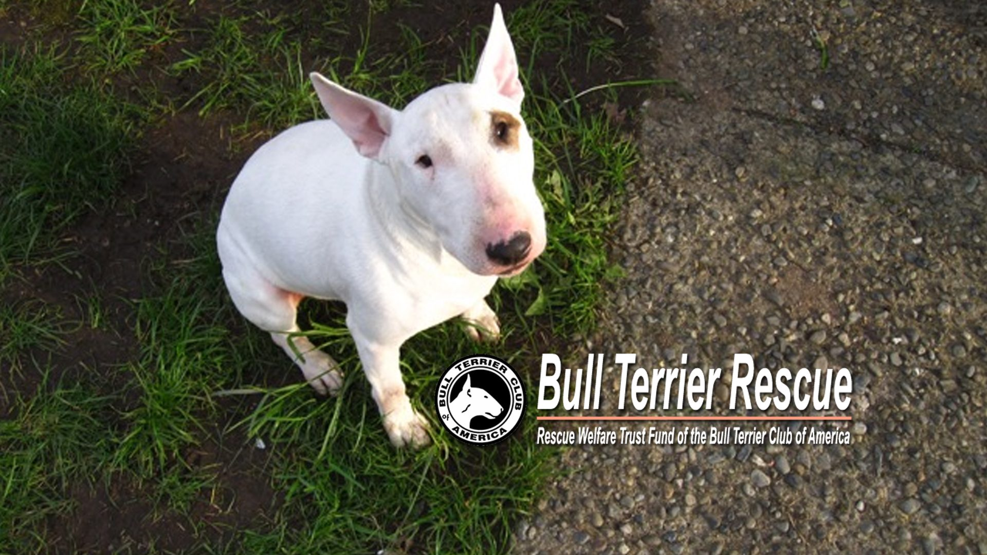 Rescue A Bull Terrier